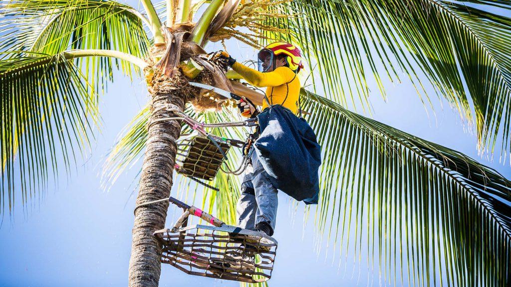 MAUI SPIKELESS Palm Tree Trimming