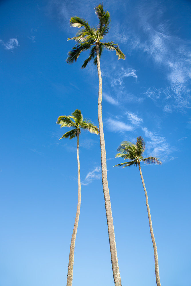 Beautiful Maui coconut palms trimmed by Maui Spikeless.
