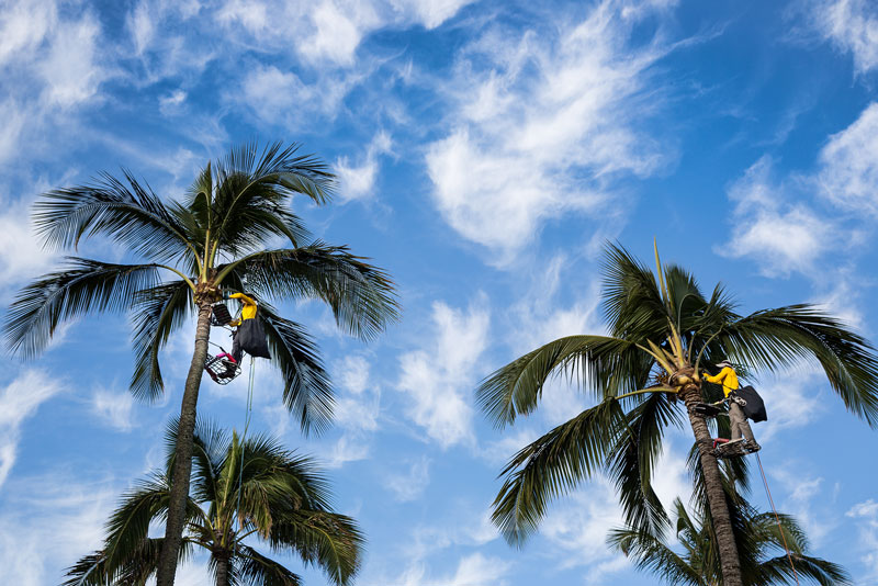 Maui Spikeless palm trimming professionals are cleaning the tops of two coconut palms with blue sky background.