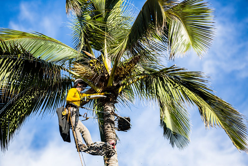 Maui coconut palm with a Maui Spikeless palm trimming professional working carefully and meticulously.