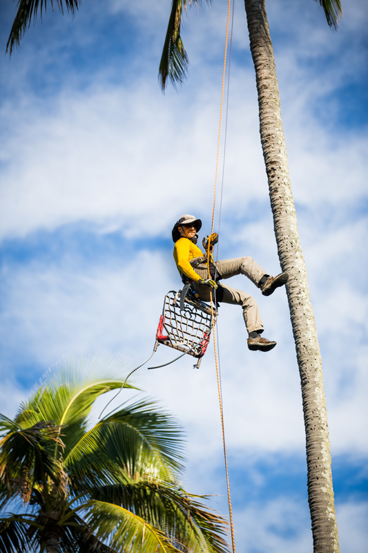 Dave Elberg is a professional Maui palm trimmer from Maui Spikeless who is rappelling from a Maui Coconut palm tree.