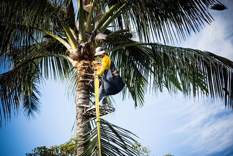 Maui Spikeless professional lowering a cut coconut palm frond to the grounds crew.