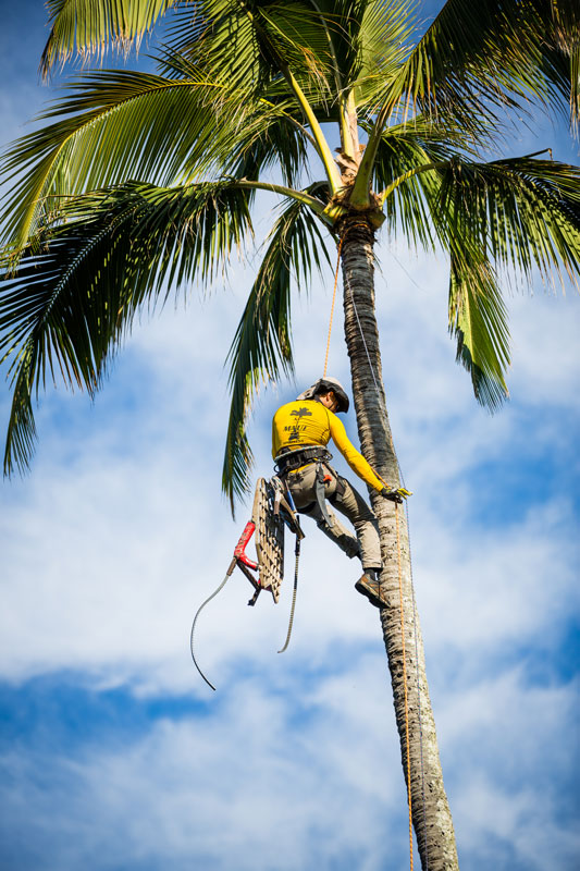 Maui Spikeless palm trimmer rappelling down from coconut palm.