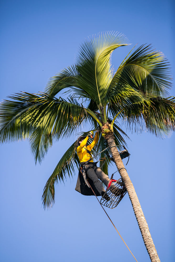 Maui Spikeless palm trimming expert carefully trimming a Maui coconut palm.